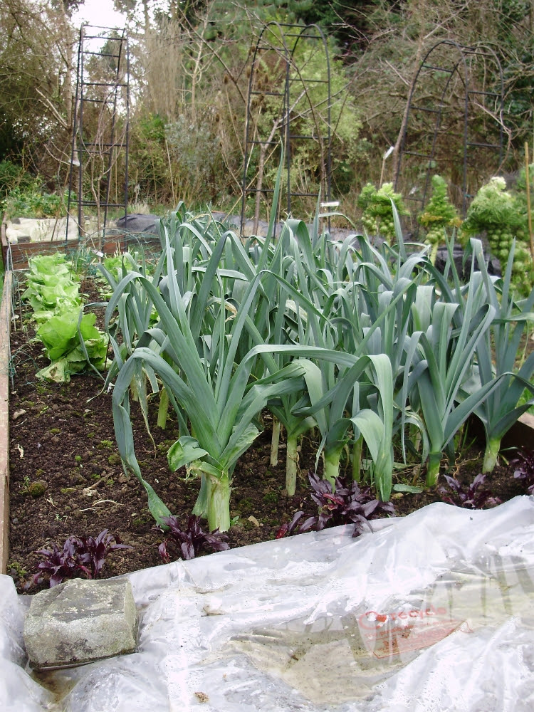 Leek 'Bandit' with chicory behind & McGregors Favourite beet in the foreground. Rest of bed covered with clear polythene