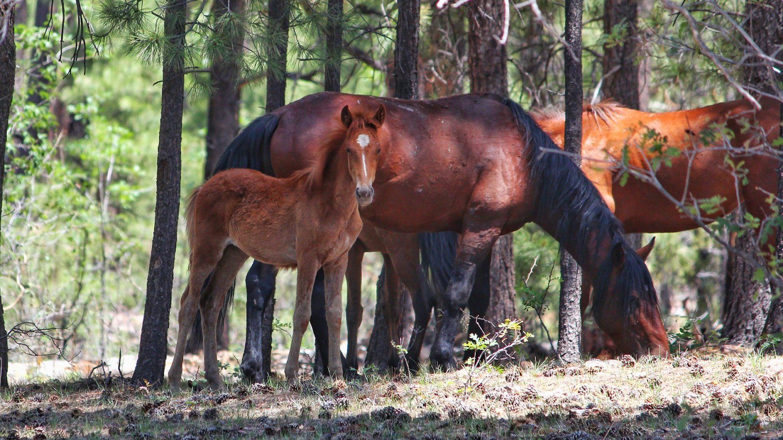 Protect the Heber wild horses of the Sitgreaves National Forest in eastern Arizona!