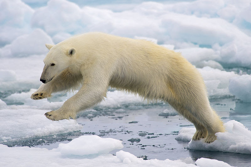File:Polar Bear AdF.jpg