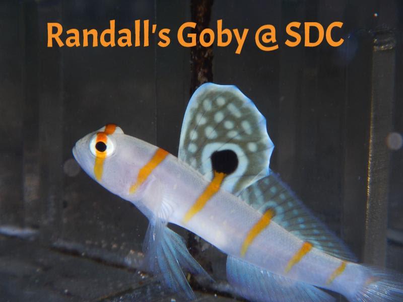 randalls goby
