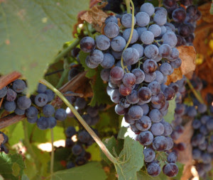 Texas wine grapes. (Texas A&M AgriLife Communications photo by Robert Burns)