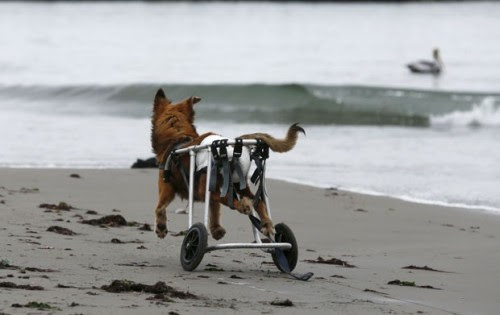 Cão paraplégico anda de cadeira de rodas em praia de Chorrillos, na região de Lima, no Peru, em foto de 7 de setembro