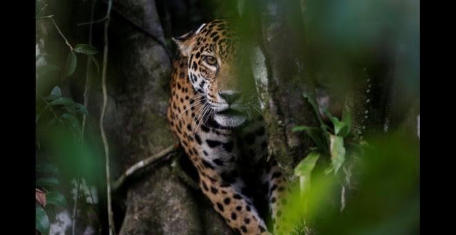Un jaguar adulto encima de un árbol en la reserva de desarrollo sostenible de Mamiraua en Uarini, estado de Amazonas.- REUTERS