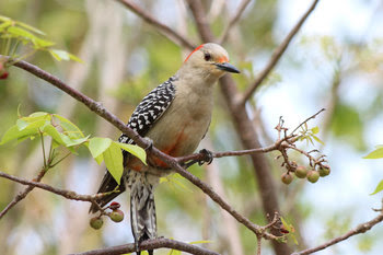 Red-bellied Woodpecker by Andy Wraithmell