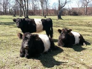 Cattle_Belted_Galloway_Mason_Tori_Nashville_Zoo