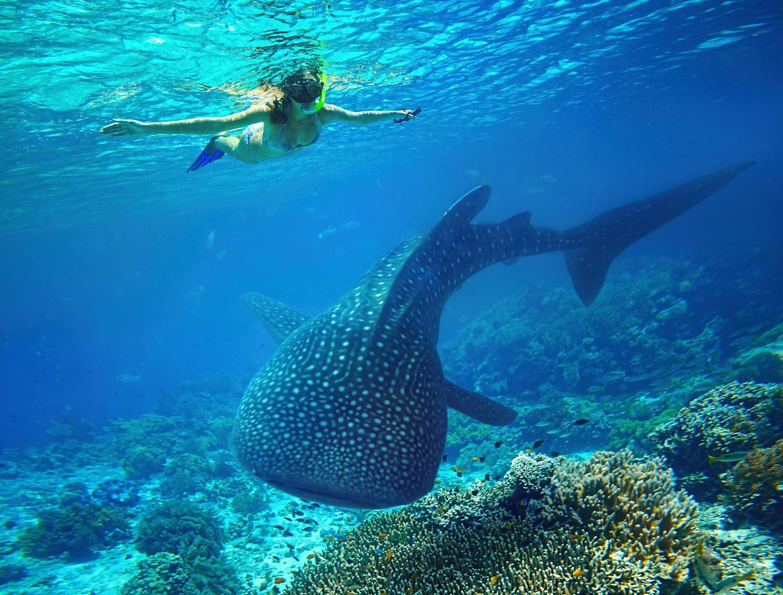 Holbox, Meksika için büyük bir balina köpekbalığı ile şnorkel kadın