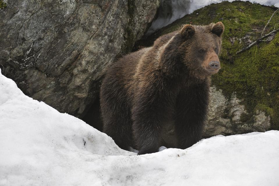 Eurasian brown bear (Ursus arctos arctos) in the snow in early spring emerging from den among rocks in woodland, Bavarian Forest National Park, Germany