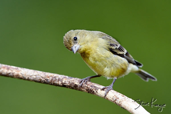 """Lesser Goldfinch, Female, © Photo by Steve Kaye, in blog post, """"Simple Request"""""""
