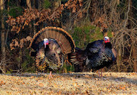 Photo of wild turkeys by Lori Bramble