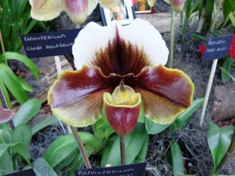 Paphiopedilum Willow Crest x
