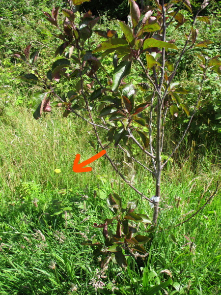 1. Badly placed branch of 'Tickled Pink' apple  growing up through crown of the tree - arrow showing direction of adjustment