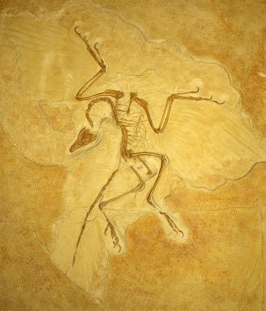 始祖鳥 全身骨格
