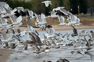 A group of gulls lifts off the ground all at once.