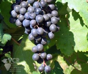 Piedirosso Grapes