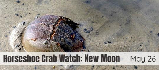 Horshoe Crab Watch