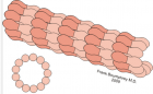 Structure of a microtubule. The ring shape depicts a microtubule in cross-section, showing the 13 protofilaments surrounding a hollow center. (Credit: Wikimedia Commons)