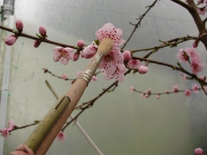 Pollinating peach blossom gently with soft paintbrush