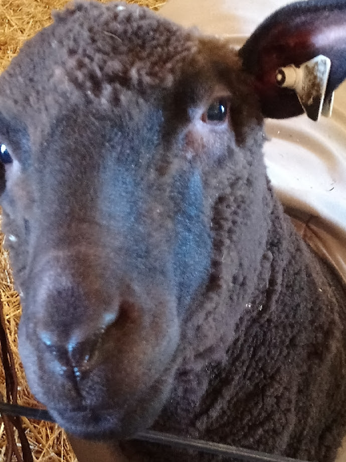 a curious brown Corriedale sheep looks right at the camera