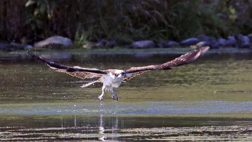 FOTO ÚNICA: Un águila atrapa a un tiburón que había atrapado a un pez