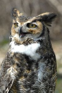 Brown owl with yellow eyes and ear tufts