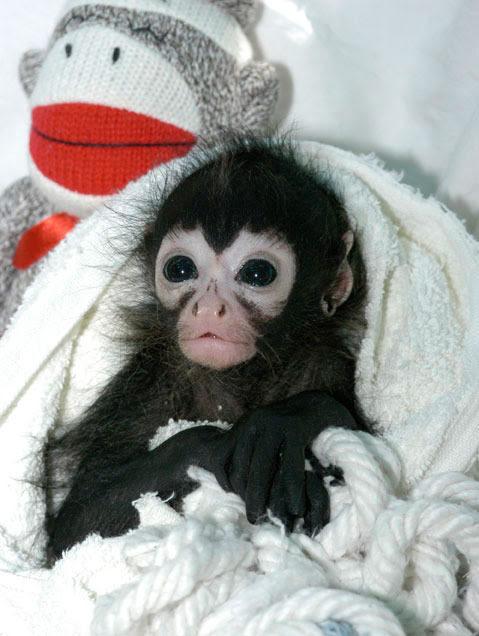 Neonate spider monkey