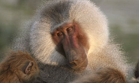 Natural World living with baboons