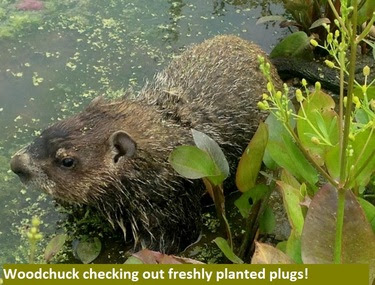 Woodchuck checking out freshly  planted plugs