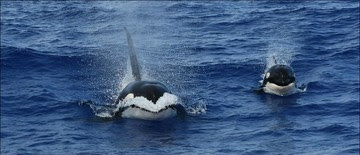 HICEAS Killer Whales