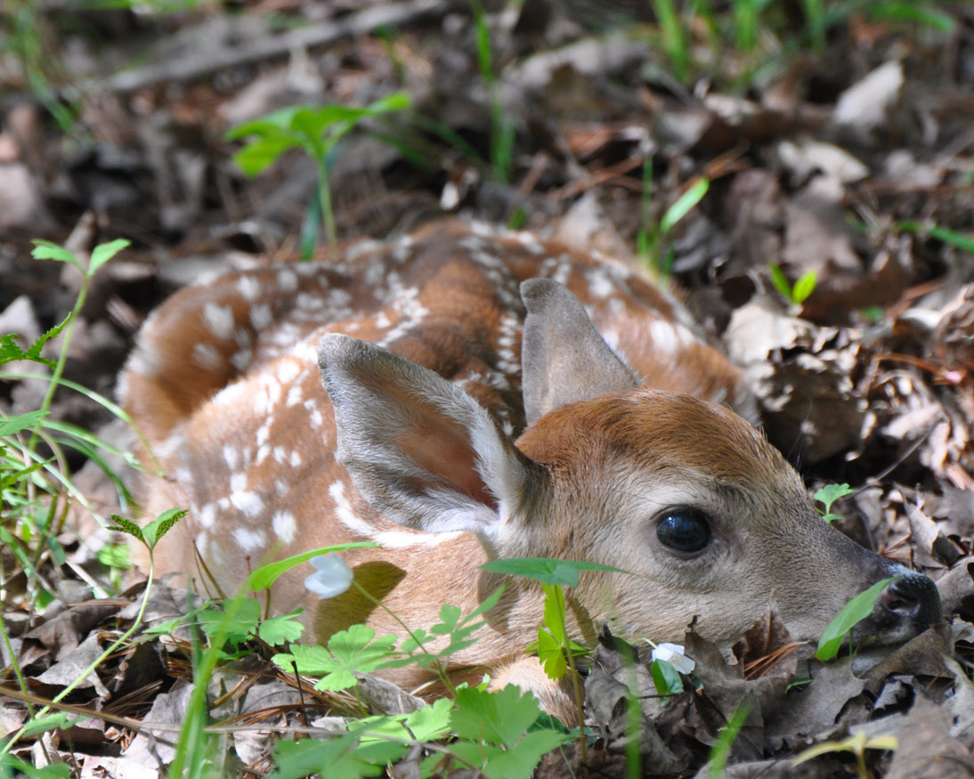 A close-up shows a fawn lying on the forest floor. Fawns are often left alone by their mothers in an attempt to keep predators from finding them.