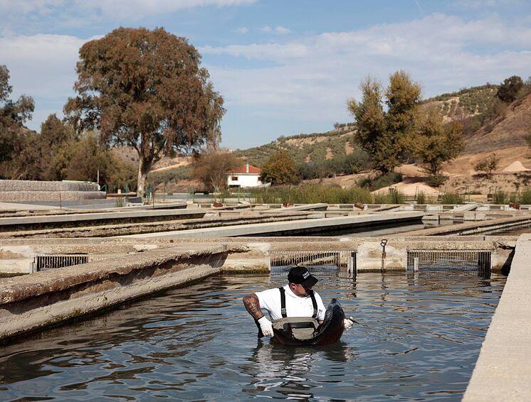 Empleado con un esturión beluga en la piscifactoría de Riofrío en...