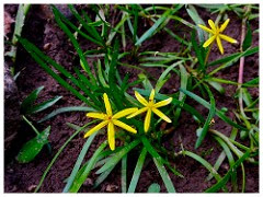 Heteranthera dubia - Grassleaf mudplantain Photo by Fritz Flohr Reynolds