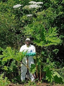 a man in a Tyvek suit stands next to a flowering giant hogweed plant