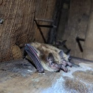 Two little brown bats nesting in an attic.