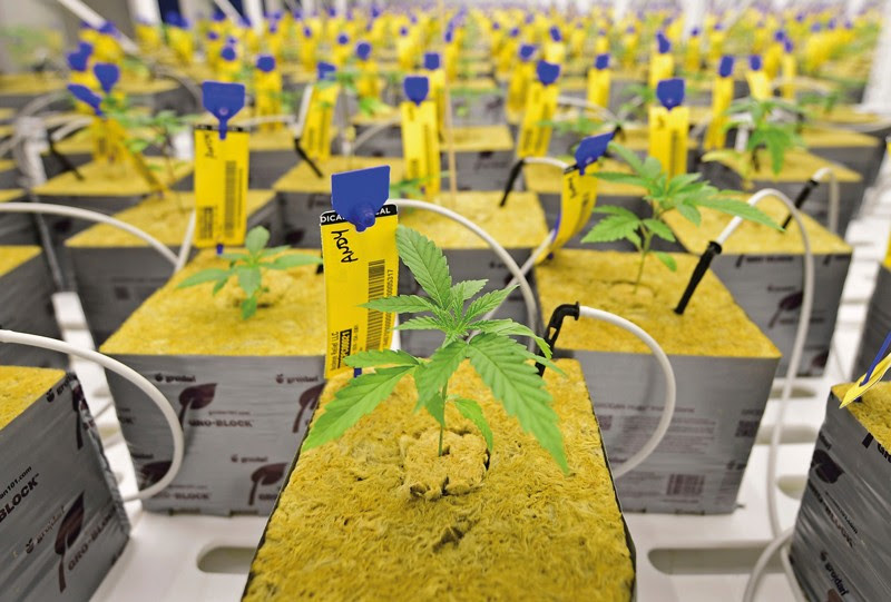 Marijuana plants sit in square grow cubes in a cultivation facility