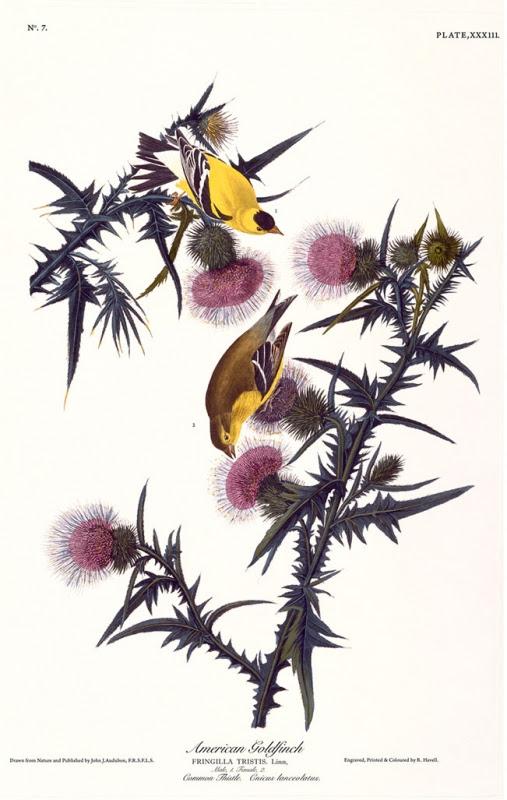 Audubon print: Gold Fiches