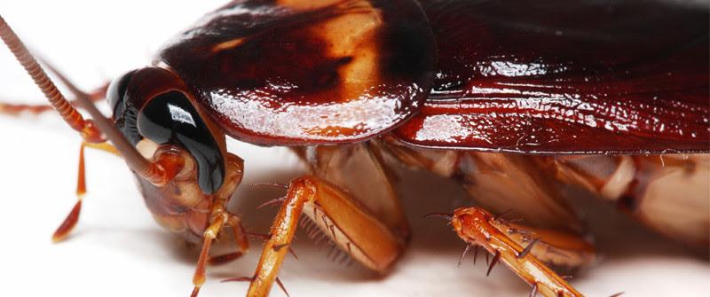 CU cockroach