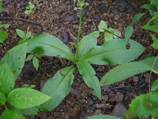 Habenaria ovalifolia Wight