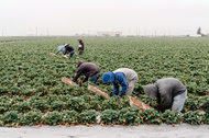 Picking strawberries at a field in Pajaro, Calif. The berries have been bred to produce over a long season.