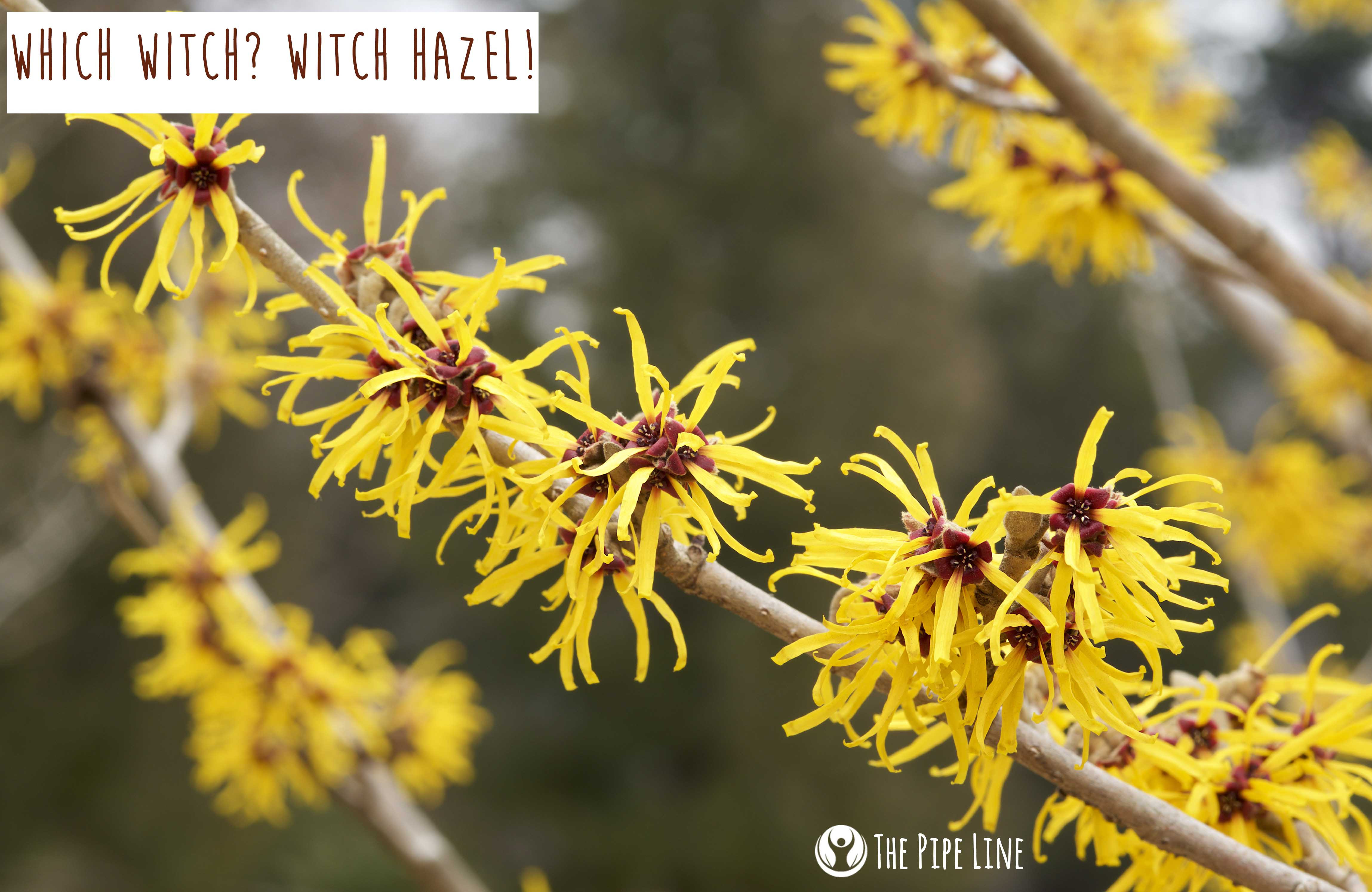 Which Witch? Witch Hazel! A Gu...