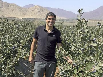 Polinización en arándanos mejora el cuajado de la fruta, aumenta su calibre y mejora su estado fitosanitario