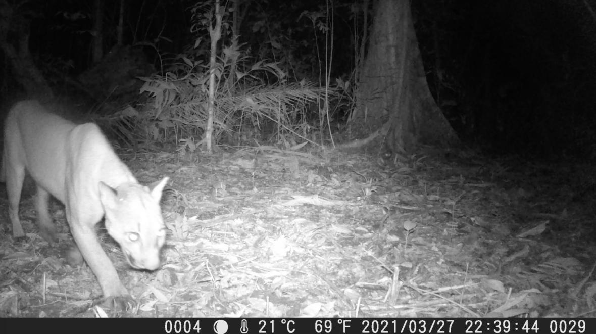 Camera trap photo of a feline