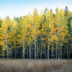 birch-trees-1030881_960_720