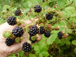 The huge ripe fruits of my 'Himalayan Giant' x wild bramble hybrid - always the earliest. Plump and delicious!