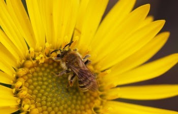 Mining bee on yellow flower
