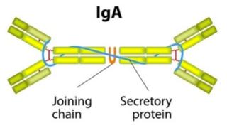 IgA antibody