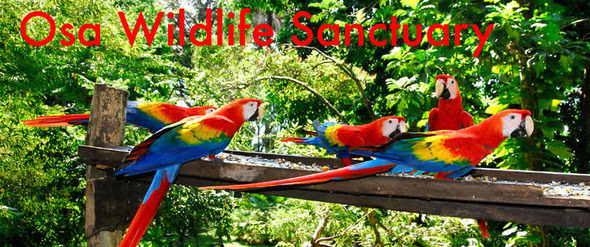 Scarlet macaws feeding