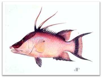 Hogfish illustration