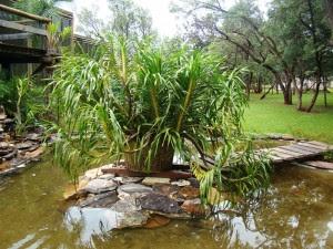 O Grammatophyllum speciosum forma bela touceira no meio de pequeno lago.