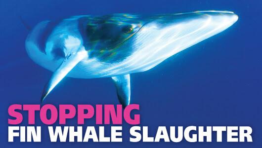 Fin whales swim free