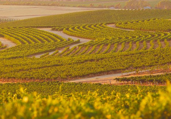 Grape vines on slope at the Wakefield Wines Estate in Clare Valley, Australia
